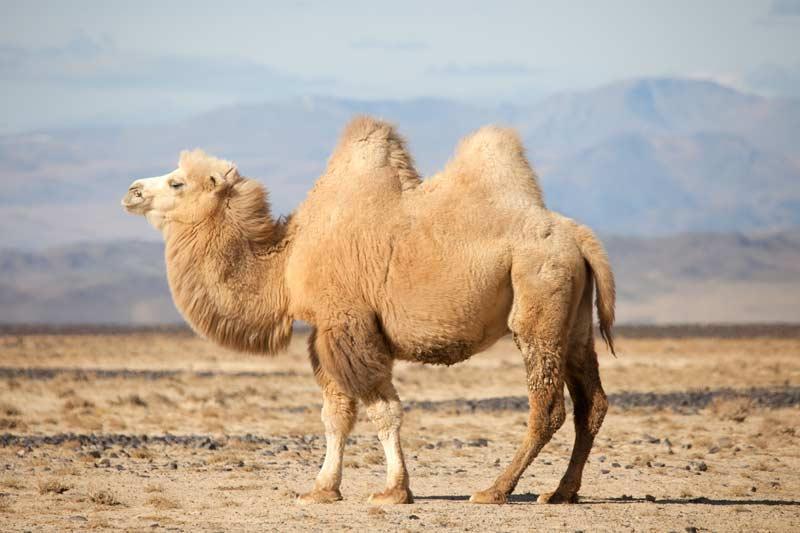 Kamel steht in einer Landschaft mit Bergen im Hintergrund